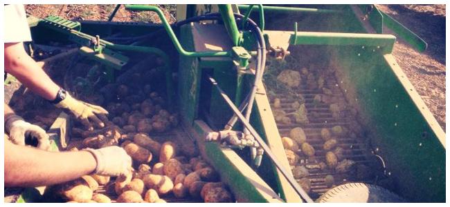 Kartoffelernte_5